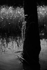 winter brushstrokes 4 (furrycelt) Tags: winter blackandwhite plants lake reflection tree nature water monochrome grass woods nikon natural bokeh 85mm northcarolina d600 harrislake nikon85mmf14 newhillnc nikon85mmf14afd shearonharrisreservoir lensblr photographersontumblr