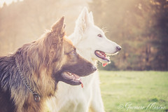 Isis & Makan (Regard Canin) Tags: dog chien suisse isis chiens allemand berger makan