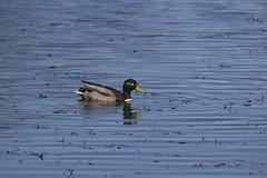 IMG_7880 (armadil) Tags: bird birds oregon duck spring ducks eugene deltapond