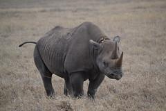Big Five (5/5) (englishman81) Tags: wildlife safari rhinoceros bigfive