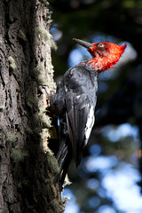 Carpintero magallnico (ramosblancor) Tags: patagonia naturaleza male nature argentina birds wildlife aves andes animales macho nothofagus campephilusmagellanicus magellanicwoodpecker cammag carpinteromagallnico
