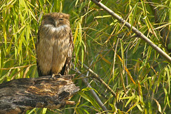 Brown Fish Owl, Tadoba Tiger Reserve, India (cirdantravels (Fons Buts)) Tags: tadoba brownfishowl ketupazeylonensis fischuhu kétoupabrun bruinevisuil
