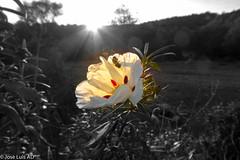 Flor de Jara iluminada por los ltimos rayos del da (joluardi) Tags: sunset espaa spring andaluca spain puestadesol crdoba jara jarapringosa sierradecrdoba elpatriarca primave