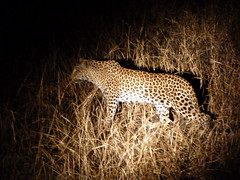 Leopard Stalking at Night