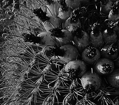Intricate design (desert native) Tags: winter arizona cactus blackandwhite desert tucson february desertlandscape barrelcactus ferocactus 2015 ferocactuswislizenii cactusspines barrelcactusfruit february2015