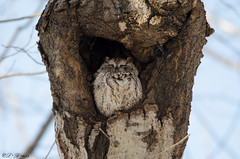 (Tired) Eastern screech owl [Explored] (PerfumeG2011 (on and off for now)) Tags: canada cold bird birds qubec owl lava