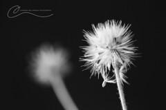 (Channon Williamson Photography) Tags: blackandwhite macro canon seed 100mm dandelion williamson macrolens channon 5dmk3 channonwilliamsonphotography