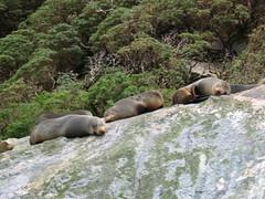 Lazing Sea Lions