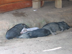 Pigs Resting by Village House