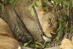 Sleeping lioness (Hassaneini) Tags: kenya lioness masaai masaimara