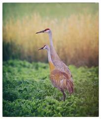 Sandhill Crane (paulh192) Tags: nature bird crane sandhillcrane michigan kentcounty field soybean bokeh nikon sigma