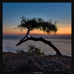 Bending over the horizon (Ilan Shacham) Tags: tree abstract minimalism bent windbent sunrise dawn kinneret seaofgalilee lake view scenic israel fineart fineartphotography square