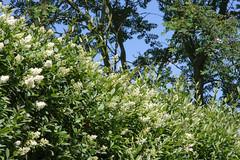 ckuchem-3604 (christine_kuchem) Tags: blte brgersteig garten gehweg glockenblumen hecke liguster naturgarten spontanwegetation zaun naturnah natrlich