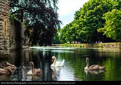 Swans at Bishop's Palace, Wells, Somerset (SimonBarclay.com) Tags: bishopspalace britishisles england greatbritain somerset southwest swan uk unitedkingdom birds cygnets nature wells