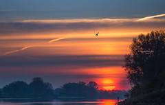 Direction of the birds (Ingeborg Ruyken) Tags: 2016 500pxs empel maas meuse bomen dawn dropbox flickr landscape lente lucht may mei morning natuurfotografie ochtend orange oranje river rivier sky spring sun sunrise trees water weerspiegelingreflection zon zonsopkomst