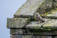 Little Owl (Tim Melling) Tags: athenenoctua little owl pennines west yorkshire timmelling