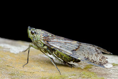 Dichoptera sp._MG_4366 copy (Kurt (OrionHerpAdventure.com)) Tags: lanternbug lanternfly fulgoridae fulgorid dichoptera dichopterasp