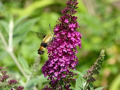 A visitor to my garden (lovesdahlias 1) Tags: buddleia butterflybush shrubs hummingbirdmoth flowers blossoms gardens nature summer newengland hank