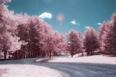 Je Veux Encore mes Rves d'Enfance (Sous l'Oeil de Sylvie) Tags: infrarouge infrared ir sousloeildesylvie arbres roses pink sentier rve dream canon g11 modifipourir beauce qubec mai may 2016 paysage landscape