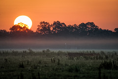 Sunrise over the pasture (Ed Rosack) Tags: grass osceolacounty sunrise tree landscape mammal mist pasturefield sky centralflorida usa edrosack fog florida cow dawn