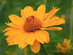 1-IMG_3533 (hemingwayfoto) Tags: berggarten blte blume coreopsisgrandiflora grosbltig hannover korbblter mdchenauge nordamerika prriegarten sommer zierpflanze zucht