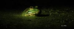 emerald (don.white55 Thank you...) Tags: americanbullfroglithobatescatesbeianus wildwoodlake wildwoodpark wildlife harrisburgpennsylvania habitat harrisburgwildlife herpetology herp donwhite donpwhitephotography dauphincounty duckweed donwhite55 canone0s7od canoneos70dtamronsp150600mmf563divcusda011 animal amphibian spot light nature nice nicecapture outdoors pennsylvaniawildlife pond pennsylvanialakes swamp thatswildnaturephotography thewonderfulworldofnature w