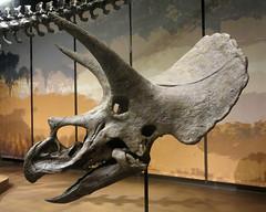 Triceratops Skull (Side View) (edenpictures) Tags: tellussciencemuseum cartersville georgia prehistoric fossil extinct bones dinosaur horneddinosaur horns frill beak head