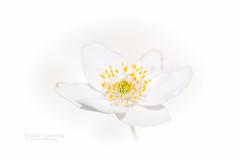 White Spring Dream (nemi1968) Tags: anemonenemorosa canon canon5dmarkiii ef100mmf28lmacroisusm larvik markiii may rekkevik bokeh closeup flower flowers hvitveis macro outdoor petal petals spring stem stems white