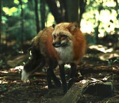 Renard roux (Carahiah) Tags: parcanimalierdesaintecroix saintecroix rhodes nature parc animal redfox fourrure inquiet