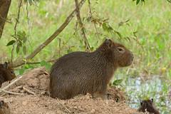 Capybara (Hydrochoerus hydrochaeris) juvenile (berniedup) Tags: pantanal transpantaneira pocon capybara hydrochoerushydrochaeris taxonomy:binomial=hydrochoerushydrochaeris