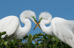 I only have eyes for you (Jamie Felton Photo) Tags: blue green mating nesting bonding breeding plumage white specanimal ngc npc