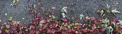 (www.tokil.it) Tags: milano italia italy foglie leaves colorate colored colori colors asfalto asphalt srtada street contrasto contrast naturaurbana urbannature autunno autumn panoramica panoramic nikond90