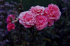 Dusk roses (rachel-ellis) Tags: roses rose flower dusk arty artistic low light