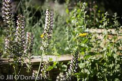 Chelsea Physic Garden, July 2016 (Jill ODonnell) Tags: flower chelseaphysicgarden physicgarden macrolens jillodonnell