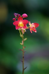 FS9A0071 (dSLRartist) Tags: canon ef70200mm f28l eos 5d mark3 orchid colours flowers sir happy joy nature