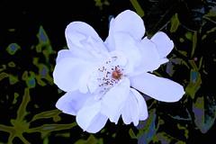 Last of the Winter Roses (maginoz1) Tags: surrealsky flowers contemporaryart july2016winter bulla melbourne victoria australia canon g3x 100d