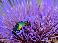 Le pollen de l'artichaut ...un rgal pour la ctoine dore (Hlne Quintaine) Tags: ctoine insecte fleur aigrette pollen dore dor jardin nature r artichaut