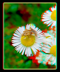 Phymata Pennsylvanica, Jagged Ambush Bug on Robin's Plantain Flower (Erigeron Pulchellus) 1 - Anaglyph 3D (DarkOnus) Tags: phymata pennsylvanica jagged ambush bug robins plantain flower erigeron pulchellus pennsylvania buckscounty huawei mate8 cell phone 3d stereogram stereography stereo darkonus closeup macro insect anaglyph