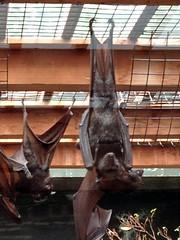 BatsColumbusZoo052612c (homeboy63) Tags: spring 2012 ohio columbus zoo fauna
