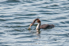 Great Crested Grebe With Fish (phat5toe) Tags: greatcrestedgrebe podicepscristatus fish birds avian feathers water wildlife nature wigan flashes greenheart nikon d300 sigma150500