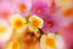 Sin ttulo (Eduardo Valero Suardiaz) Tags: flores flowers blanco white amarillo yellow morado purple violeta violet hajas sheets sueo dream