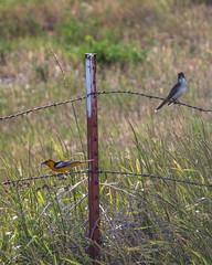ORIOLE, Bullock's & KINGBIRD, Eastern (teddcenter) Tags: bird bullocksoriole easternkingbird flycatcher kingbird molt montana oriole stillwatercounty