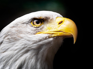 Bald Eagle Closeup - Greifvogelpark Saarburg, Germany