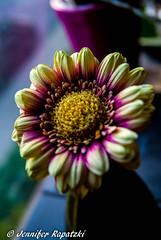 Gerbera (Bernsteindrache7) Tags: summer sony spring blume bloom blossom flora fauna flower home indoor