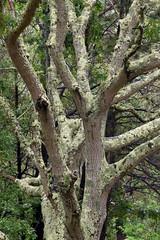 red oak (ophis) Tags: fagaceae quercus quercusrubra redoak