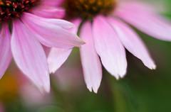 Painted Beauty (LornaTaylor) Tags: copyright2016lornataylor d7000 lornataylor lornataylorphotography nikon taylorimagesca naturallight summer digitalpainting flower texture garden greenlandnusery gardencenter 50mm18 topazimpressions topazlabs