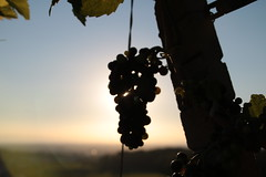 IMG_4369 (jakoboberle) Tags: landscape sunset grapes summer sun