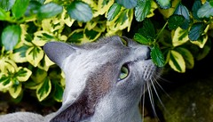 The scent of freedom (Jane.Des) Tags: blueburmese cat garden scent leaves whiskers outdoors green eyes