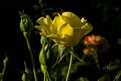 Rose (betadecay2000) Tags: rosen rosengarten beet beete pflanze flower plant plants green grn rosenbusch rosebush dornen dorn blhen rosenstrauch zierpflanze blume outdoor