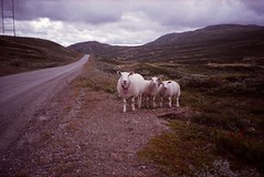 Untitled. (35mm) (samuel.musungayi) Tags: film pellicule analog argentique 35mm 24x36 negative color agfa ca24 200n sheeps road scene paysage photography photographie landscape north yorkshire